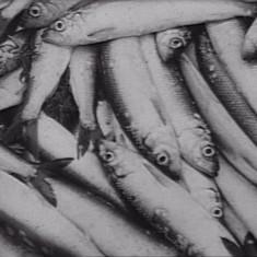 Pêche aux harengs 29